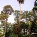 pine-take-down-DSC00642