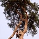 pine-take-down-DSC00706