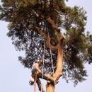 pine-take-down-DSC00717