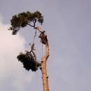 pine-take-down-DSC00806