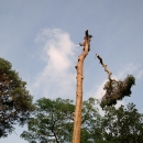 pine-take-down-DSC00852a